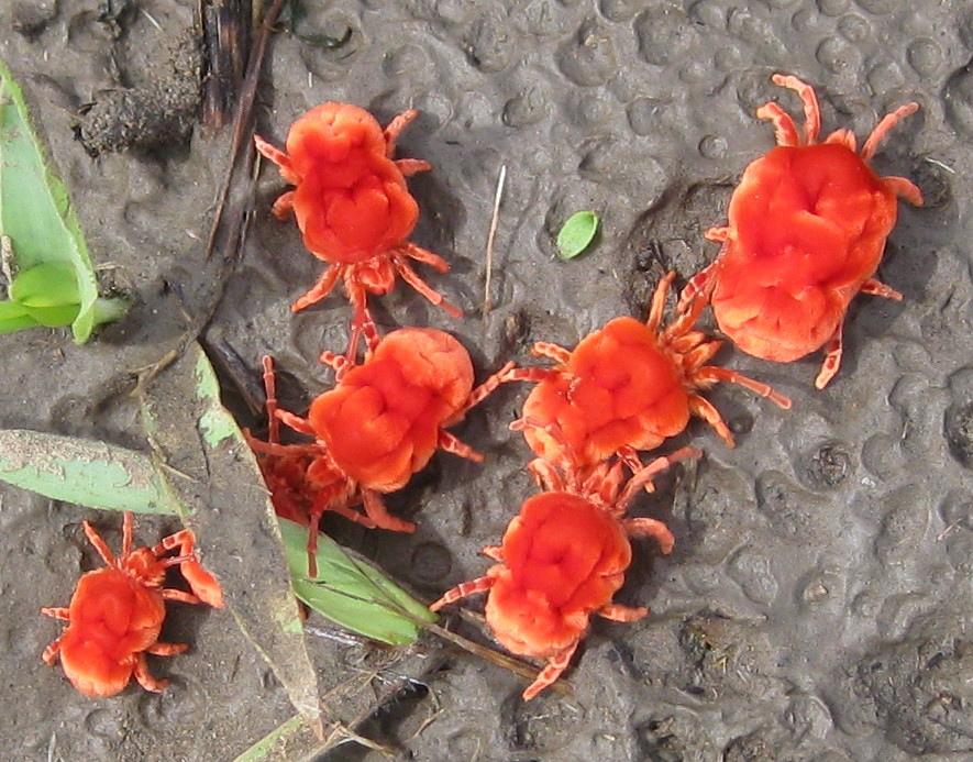 archiopteryx-harmonious-living-red-velvet-mites